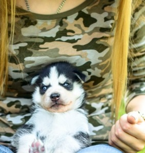 Little prety husky puppy outdoor in womans hands